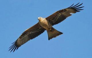 Falco vola libero